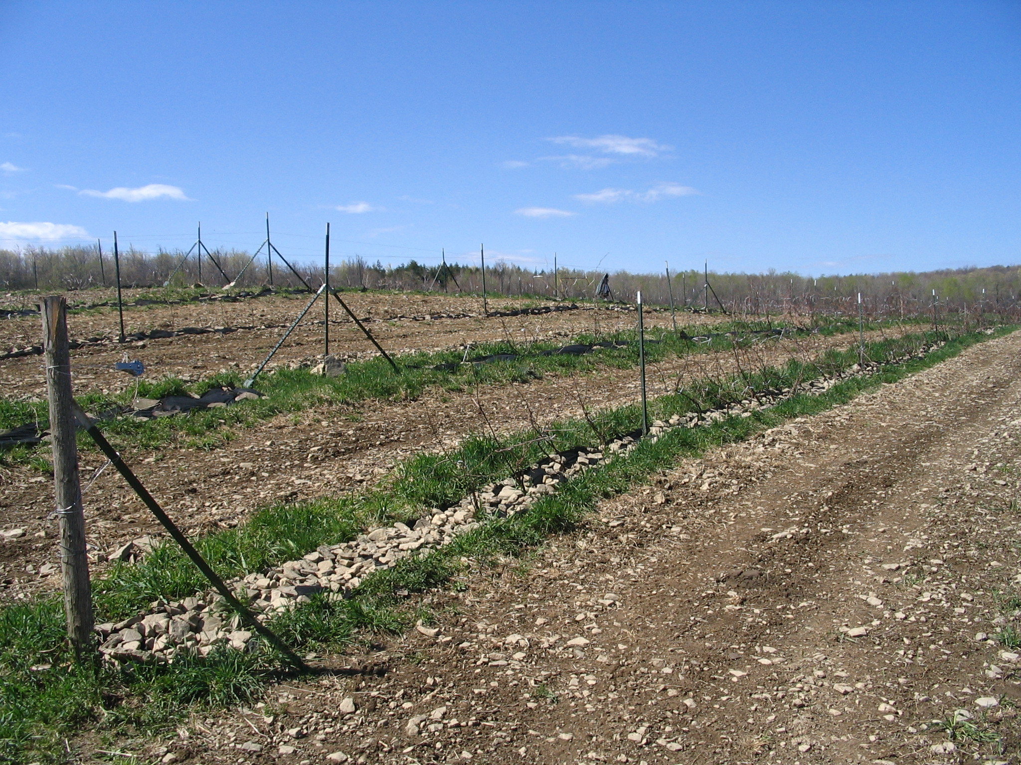 Photograph showing rows of newly planted grape vines.